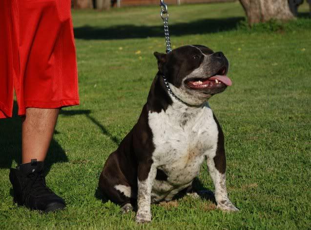 Blue Red Pitbull Kennel Breeder Pitbull Puppy American ...