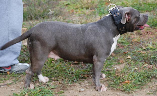 Trauma razor's edge Pitbull - Bully Pitbull Breeders : Gotti
