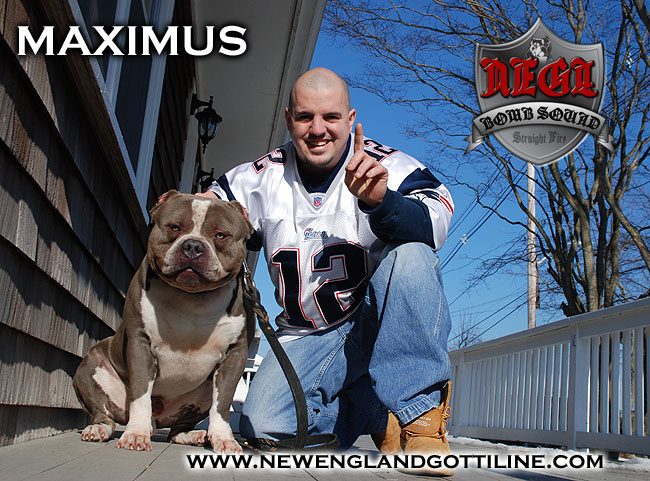 Gottline Line Pitbull - Gallery 2 Maximus