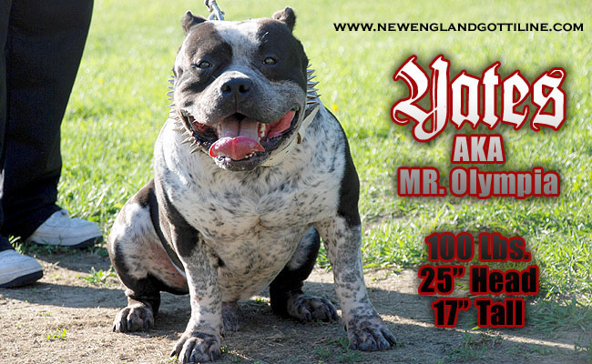 Line Bully Pitbull Breeders Kennels Download New England Gotti