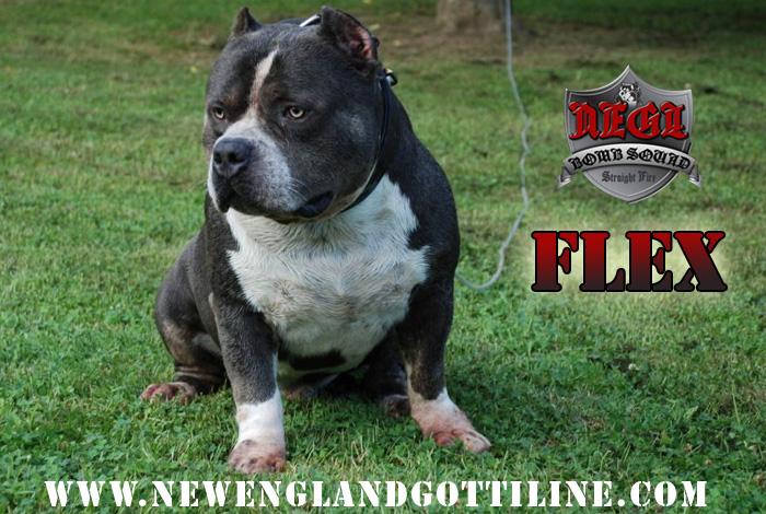 Flex GottiLine Pitbull - Bully Pitbull Breeders :