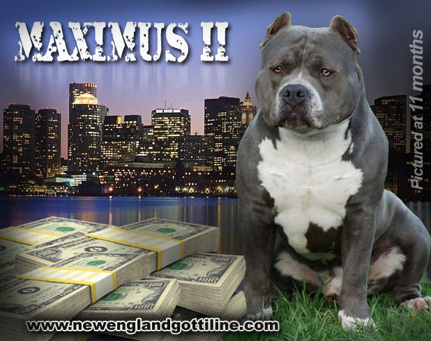 East Coast Gotti Line Bully, Dogs Produced Page 1 Pitbull Breeders