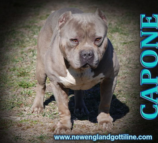england gotti line offers bully style pitbulls bully style pits bully ...