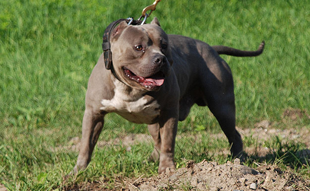 ... gotti line offers bully style click for details new england gotti line