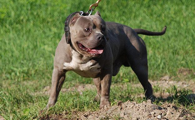 Gotti+Line+Pitbulls+Bully ... gotti line offers bully style pitbulls ...