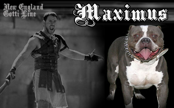 Maximus - Gottiline Pit Bull - warrior