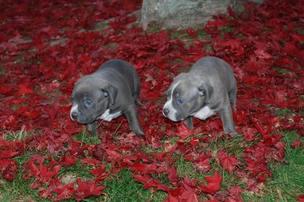 lil kim puppies gator capone son capone and jade puppies