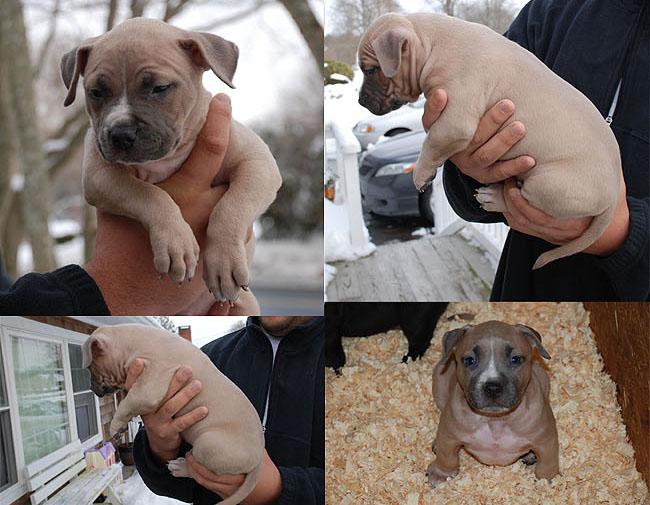 Gator Line Pitbull Puppies